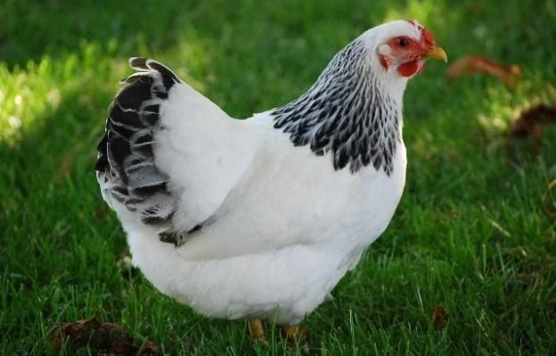 Flot hvid susex høne