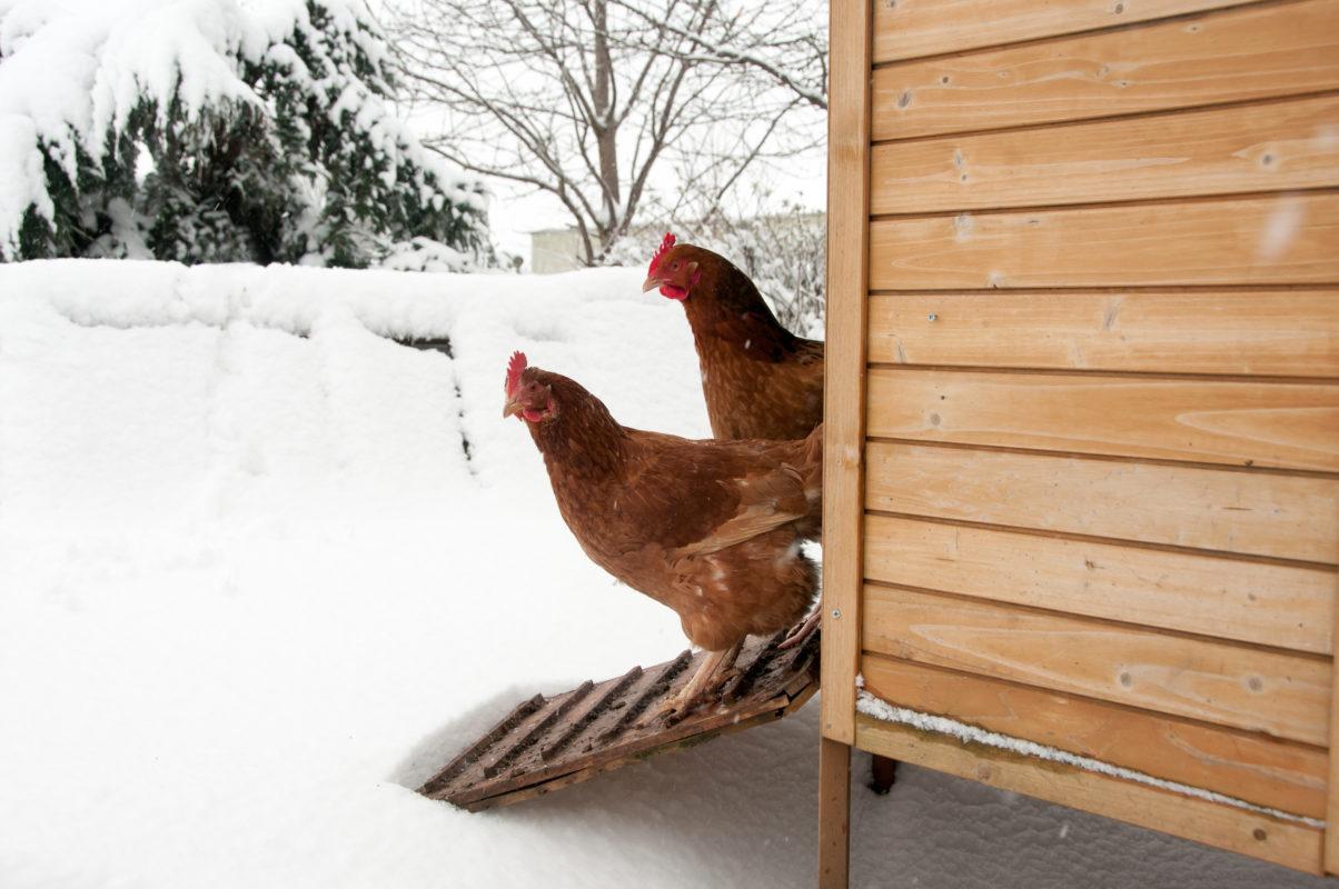 høns i snevejr