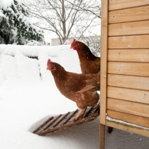 Vandvarme til høns