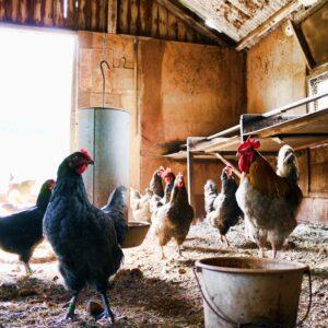 Hønsehuse
