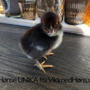 Hønse Unika